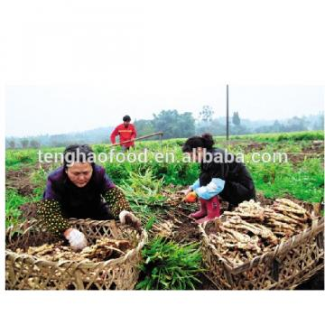 manufacture 2017 year china new crop garlic offering  New  crop  Chinese  fresh ginger from China
