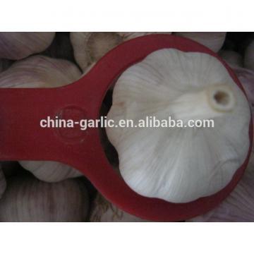 Size 45mm 50mm 55mm 60mm fresh garlic factory directly supply