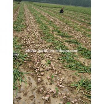 Common Cultivation Liliaceous Vegetables 2017 fresh garlic