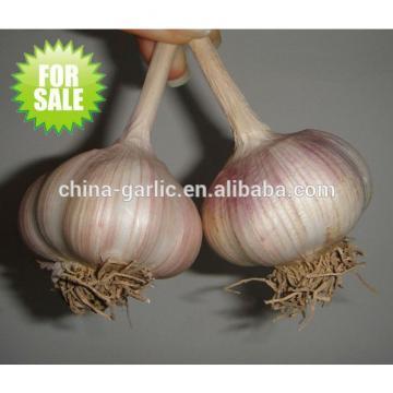 Factory supply high quality fresh Garlic for sale