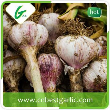 New crop natural china natural fresh big size garlic
