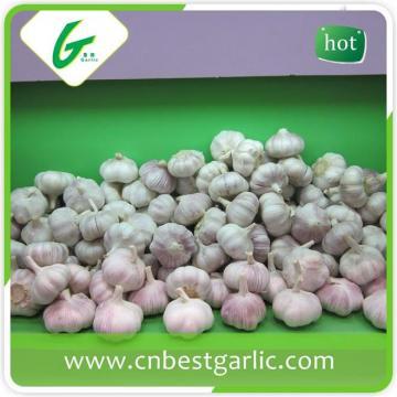 China natural big size white garlic supplier
