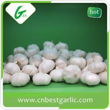 Big size fresh garlic with premium quality