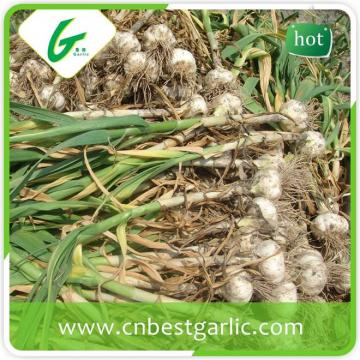 Wholesale china pure garlic 6cm white garlic for wholesales