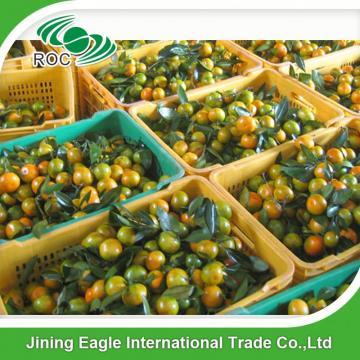 New crop fresh sugar mandarin orange in favorable price