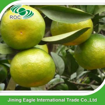 Zhejiang fresh sweet baby mandarin orange in favorable price