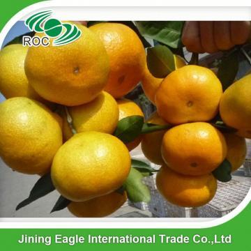 Sweet fresh citrus fruit baby mandarin orange