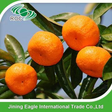 Chinese fresh baby mandarin tangerine orange