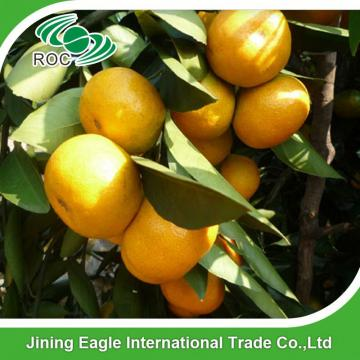 Chinese nafeng fresh small honey sweet mandarin orange
