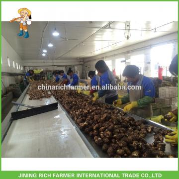 Chinese Fresh Seasonal Vegetable Taroes Hot Sale
