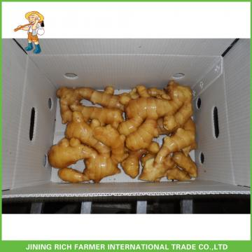 150g Up Fresh Young Ginger From China For Sale With Best