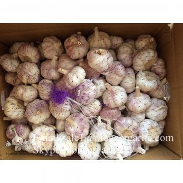 New Crop 5.5cm Purple Fresh Garlic In 10 kg Mesh Bag packing