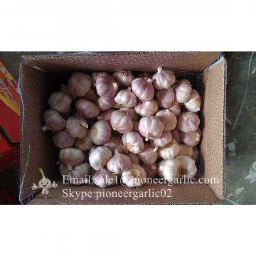Best Quality 5.0cm Red Garlic Packed According to client's requirements