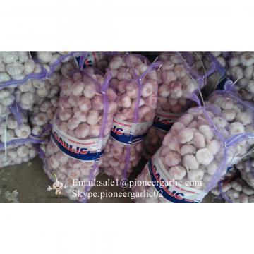 Nature Made 5.5-6.0cm Wholesale Chinese Normal Garlic Material of Black Garlic in Mesh Bag