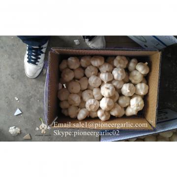 New Crop Fresh Jinxiang Normal White Garlic 5cm And Up In Carton Box Packing