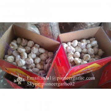 Chinese Fresh Red (Allium Sativum) Garlic Packed in 10kg Mesh Bag
