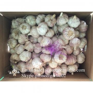 Best seller Red Garlic 5.0cm-5.5cm Packed in Mesh Bag or Carton Box