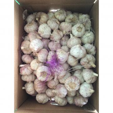 New Crop 5.5cm Purple Fresh Garlic In 10 kg Box packing