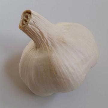 5 lbs of ORGANIC Cold Treated Garlic for Spring Planting