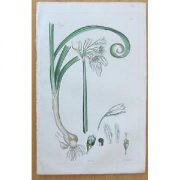 Sowerby: Allium Three Sided Garlic - 1860