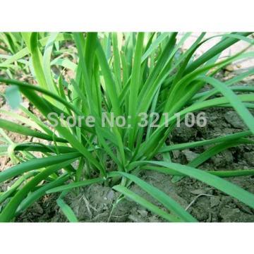 400 Chinese Chive Seeds Allium tuberosum Garlic chive Vegetable Seeds