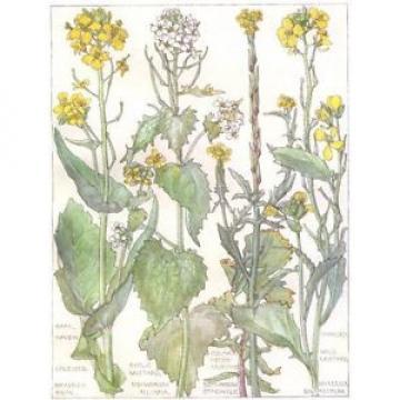 CABBAGE. Cruciferae.Rape Navew;Cole seed;Garlic,Charlock Wild,Hedge-Mustard 1907
