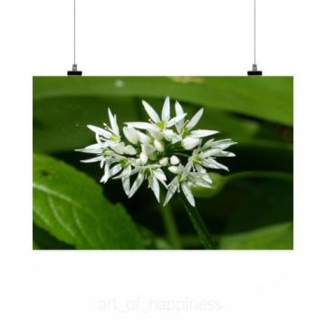 Stunning Poster Wall Art Decor Wild Garlic Nature Colors White 36x24 Inches
