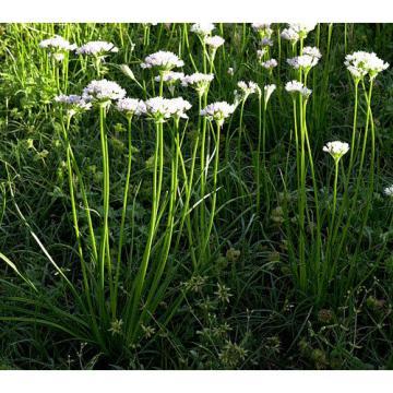 25 X Wild Garlic Field Garlic Bulbs (allium vineale) UK grown, hardy