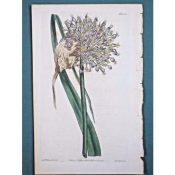 Garlic,Allium ampeloprasum,Curtis Bot.Magazine,1385,hc.Eng.1811