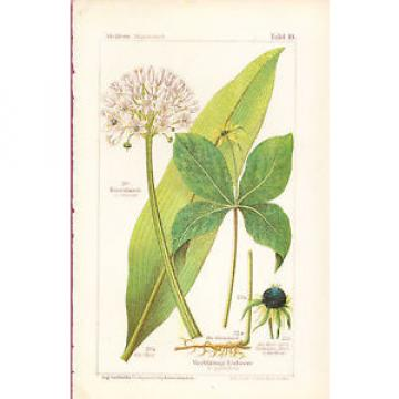 Wild Garlic & Herb Paris/True Lovers Knot wildflowers herbs color 1893 p-10