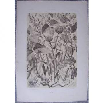 SEDER: Art Nouveau Garlic Bean XL - 1886