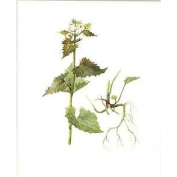 1914 Hedge Garlic Botanical Watercolour Mrs Perrin Art Print