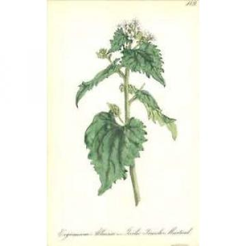 1863 Garlic Treacle Mustard  ~ Erysimum alliaria Botanical Print