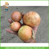 High Quality 7.0cm up Fresh Onion Low Price