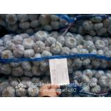Hot Sale Chinese Fresh Purple Red Garlic Big Garlic 5.5cm and up Size with Box Packing