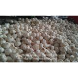 Hot Sale Chinese Fresh Purple Red Garlic Big Garlic 5.5cm and up Packed in Mesh Bag